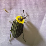 Silphidae: Silpha sp. Mount Totumas, 1900 m (Chiriquí, Panamá), 24 octobre 2014. Photo : J.-M. Gayman