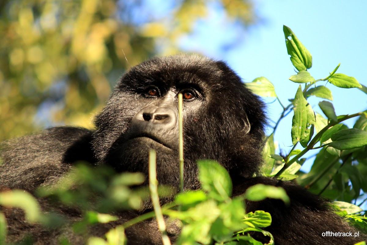 Młody goryl na drzewie,  The Virunga massif region, Uganda