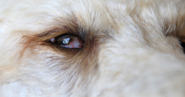 Dog Showing The Whites On His Eyes
