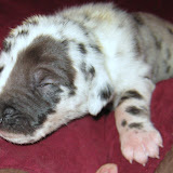 speckled harl girl@ 2 weeks