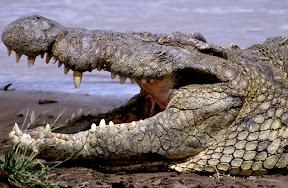 African Crocodile, Kenya