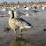 Show Me Snow Geese's profile photo