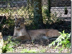 Florida Panther relaxing during the day
