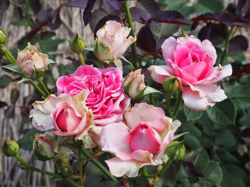 chofu roses jardin botanique jindaiji