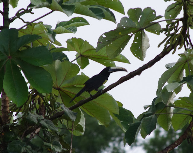Toucan ariel (Ramphastos vitellinus). Pointe Maripa (Riv. Comté), 9 novembre 2012. Photo : J.-M. Gayman