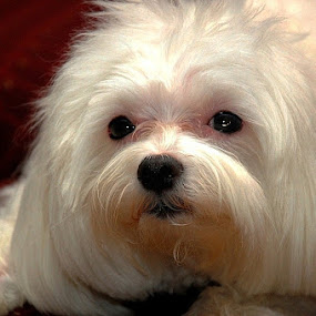 by Harold Stoler - Animals - Dogs Portraits ( pets, dog, animal,  )