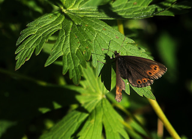 Erebia jenisseiensis TRYBOM, 1877. Seminskij pereval (2000 m), 14 juillet 2010. Photo : B. Lalanne-Cassou