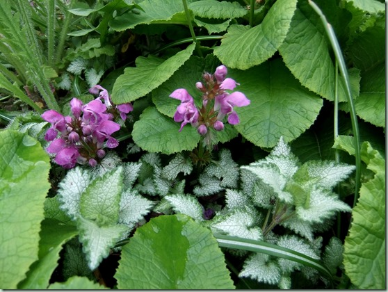 Lamium macelatum `Beacon Silver`
