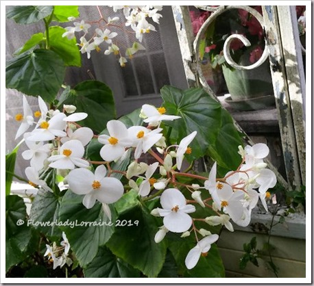01-03-scented-begonia