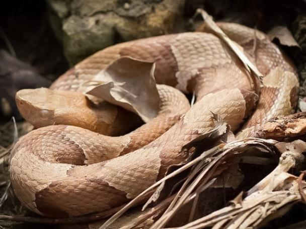 Copperheads Snakes Opportunistic Eater Rattlesnake
