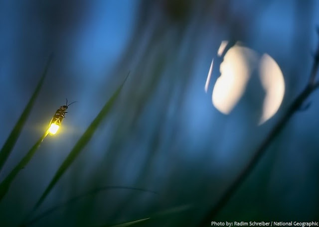 "kunang yang juga disebut serangga petir ialah anggota Lampyridae Fakta menarik perihal kunang-kunang berikut Membuat Kita Berkata ""WOW""!"