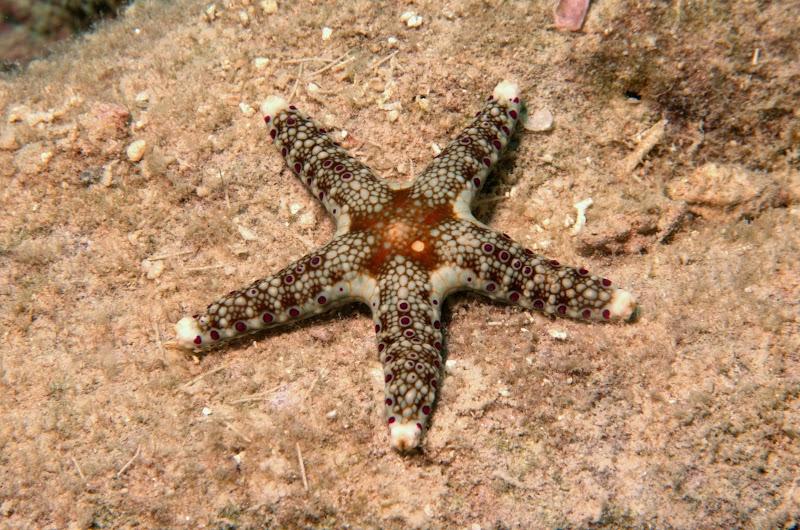 Neoferdina cumingi. Lizard Island.