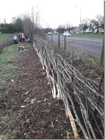 Finished hedge. Photo: Paul Loughnane