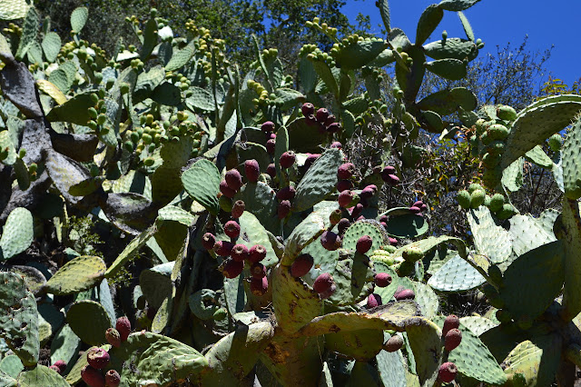 prickly pear with red fruits near and green fruits far