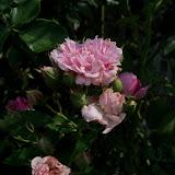 Gardening 2011 - 100_8577.JPG