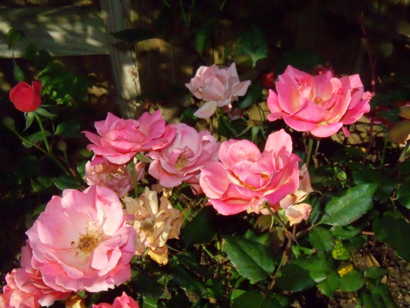 Gardening 2015 - 116_7643.JPG