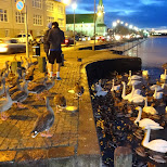 feeding ducks and swans in Reykjavik, Hofuoborgarsvaeoi, Iceland