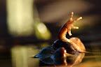 A L'AIDE !   Pauvre femelle assaillie par un mâle ! Les grenouilles rousses entre elles ne sont pas tendres...