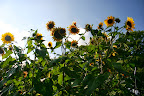 Brightside sunflowers.