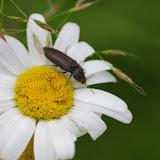 Elateridae : probablement Hermicrepidius hirtus (HERBST, 1784). Les Hautes-Lisières (Rouvres, 28), 14 juin 2012. Photo : J.-M. Gayman