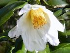 白色 八重 平開咲き 散り性 割りしべ 中輪