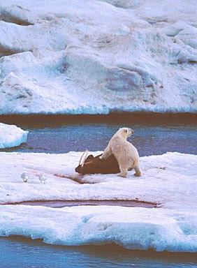 Urso pardo vs Urso polar Cv0177