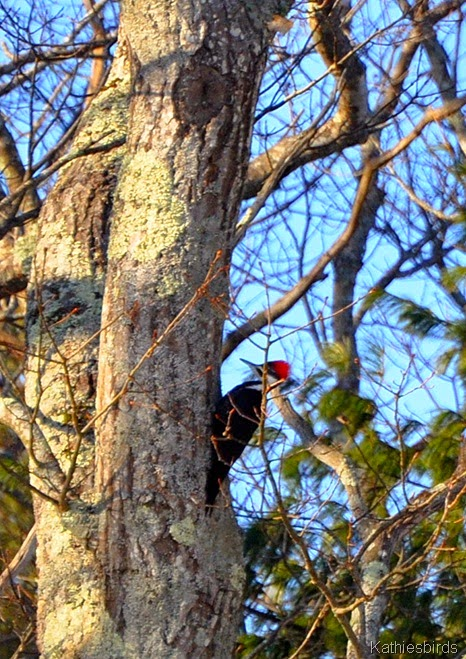 4. pileated-kab