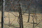 A vine before pruning.