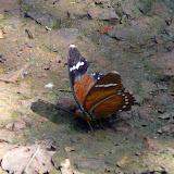 Euphaedra zampa ferruginea STAUDINGER, 1886, femelle. Atewa Hills (Ghana), 27 décembre 2009. Photo : J. F. Christensen