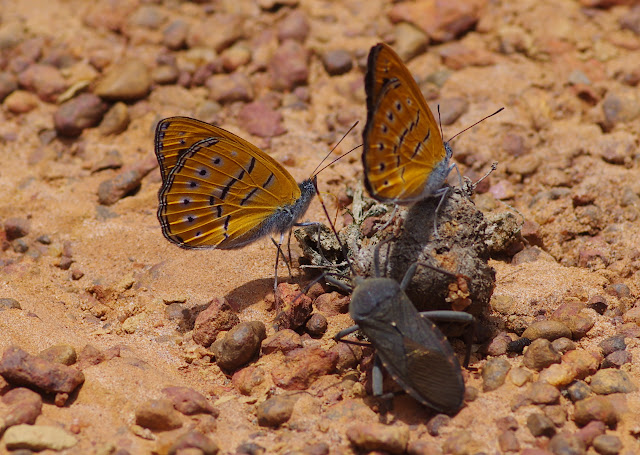 Sevenia amulia CRAMER, 1777, mâles. Piste vers Ebogo, Cameroun, 8 avril 2012. Photo : J.-M. Gayman