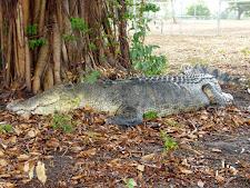 crocodile-harvesting-2009-9.jpg