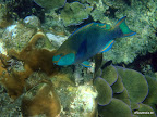 Tioman - Parrot  Fish