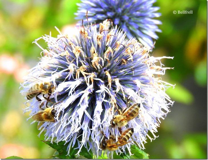 Bienendistel 3
