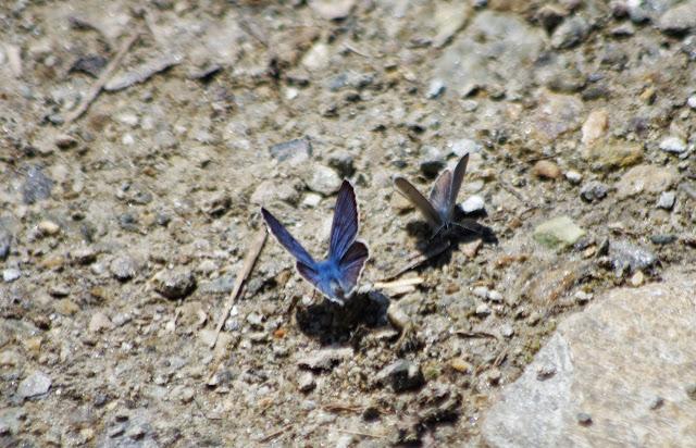 (?) Polyommatus amandus amandus (SCHNEIDER, 1792) et (?) Cupido minimus (FUESSLY, 1775). Marmorè, Val Fex, 2100 m (Grisons, CH), 11 juillet 2013. Photo : J.-M. Gayman