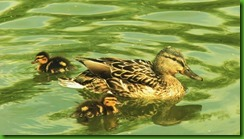 Mallard and chicks Feb 2016