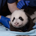The National Zoo's Baby Panda Has Taken His First Steps