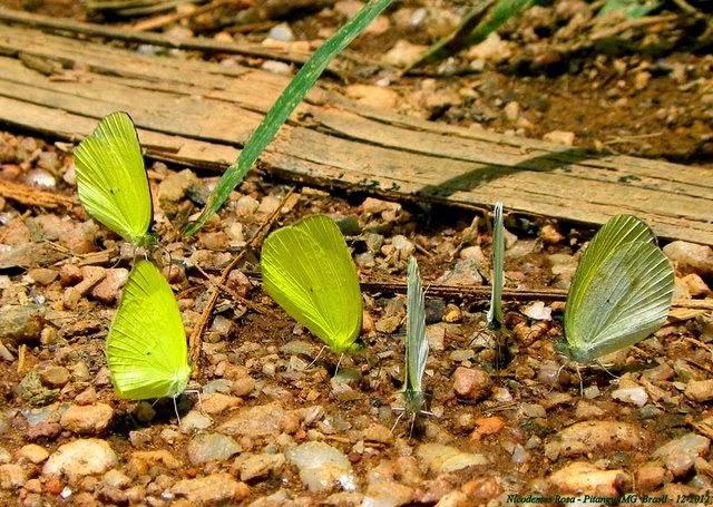 À gauche : probablement Eurema agave pallida (CHAVANNES, 1850). Pitangui (MG, Brésil), 20 décembre 2012. Photo : Nicodemos Rosa