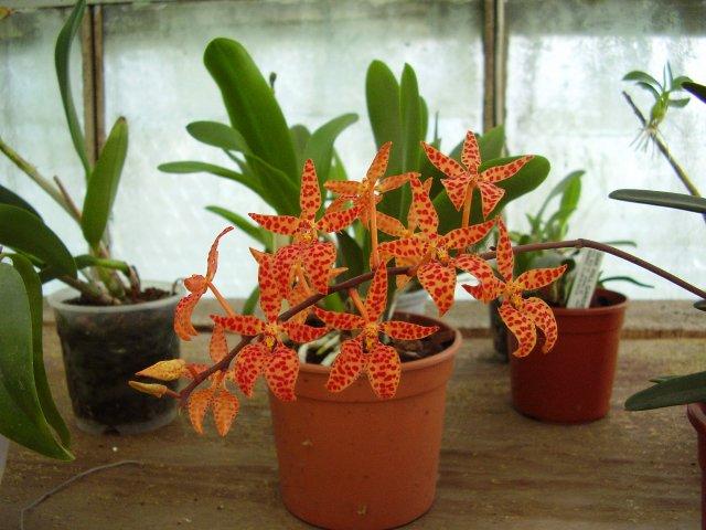 Растения из Тюмени. Краткий обзор - Страница 7 Renanthera%252520monachica1