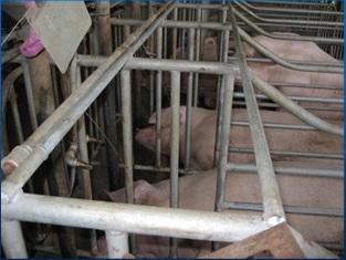 Hướng dẫn cách nuôi lợn nái mang thai - 55c881de4891e