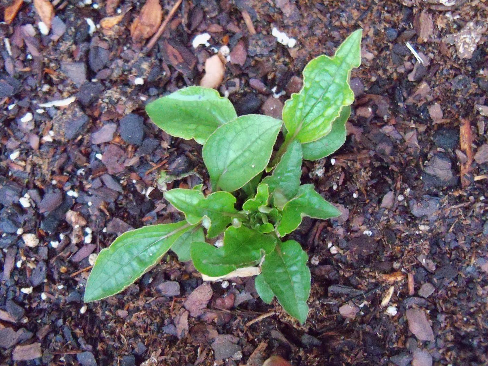 Gardening 2010 - 101_0508.JPG