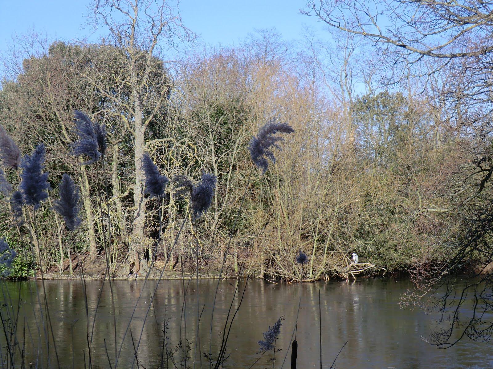 CIMG1577 Grey heron, Dulwich Park