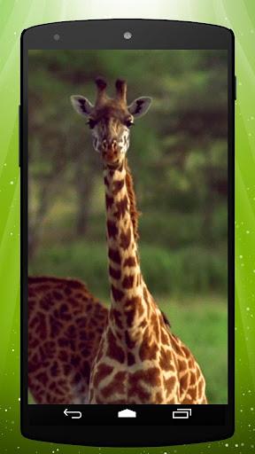 Hungry Giraffe Live Wallpaper