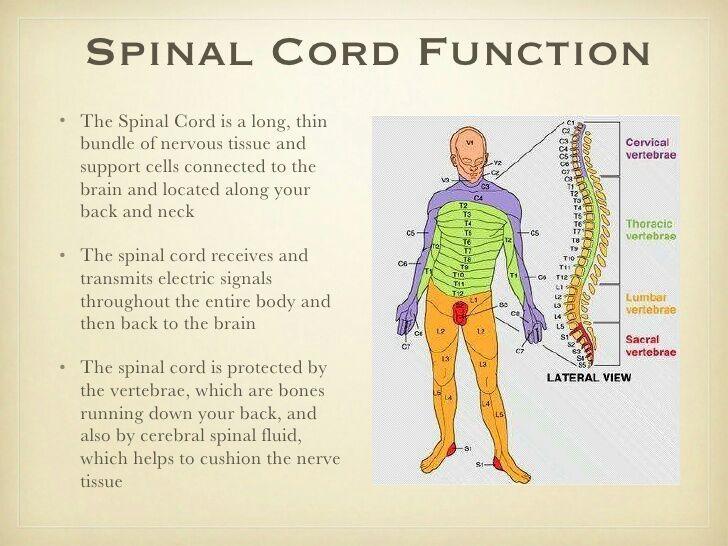 spinal cord function - Romeo.landinez.co