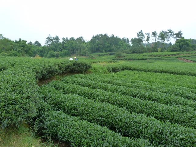 et leurs plantations de thé