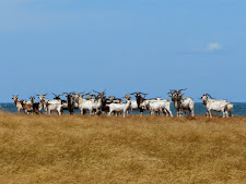 wildlife-wild-goat-2.jpg