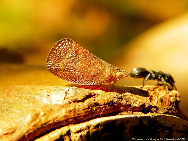 Probablement : Hémiptères : Fulgoridae : Pterodicta reticularis (?). Pitangui (Minas Gerais, Brésil), 12 juin 2011. Photo : Nicodemos Rosa