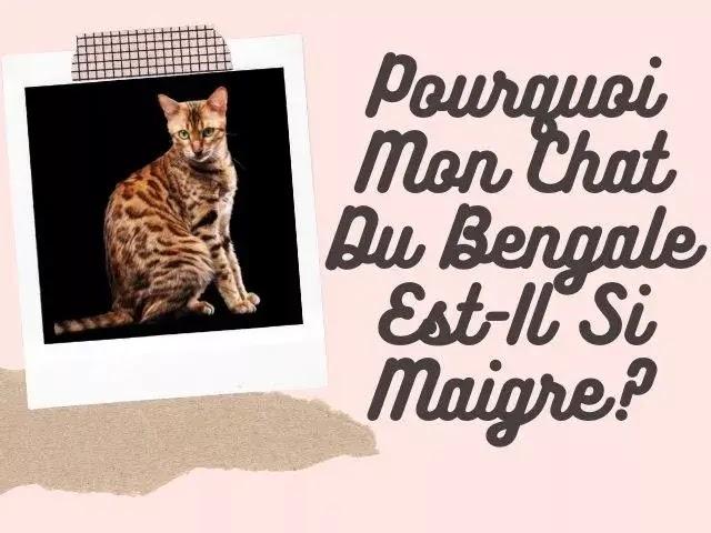 Pourquoi Mon Chat Du Bengale Est-Il Si Maigre?