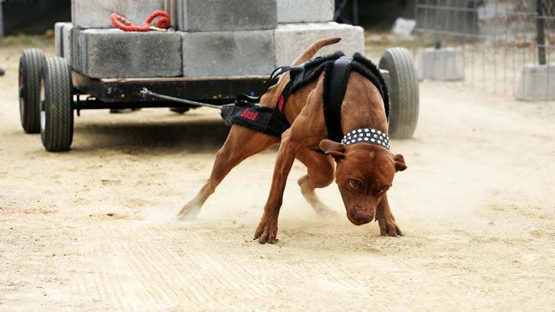 chó pitbull đẹp nhất