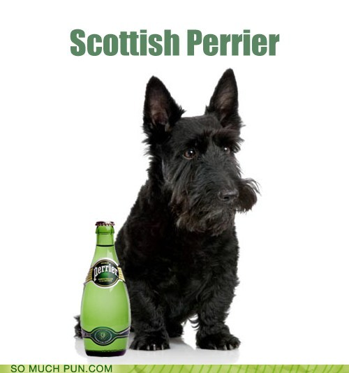photo of a Scottish Terrier and a bottle of Perrier...Scottish Perrier