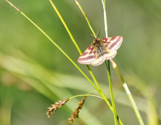 Geometridae : Larentiinae : Lythria plumularia (FREYER, 1831). Marmorè, Sils Maria, 2100 m (Grisons, CH), 11 juillet 2013. Photo : J.-M. Gayman